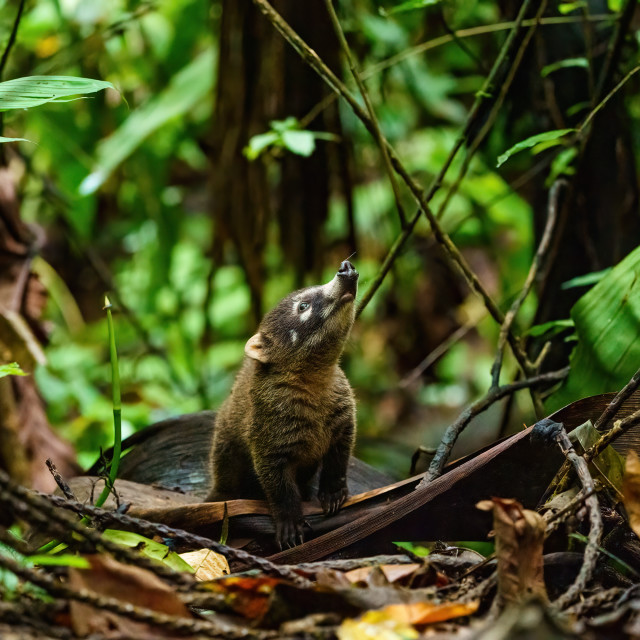 """Baby Ring-Tailed Coati (Nasua nasua rufa) looking up, taken in Costa Rica"" stock image"