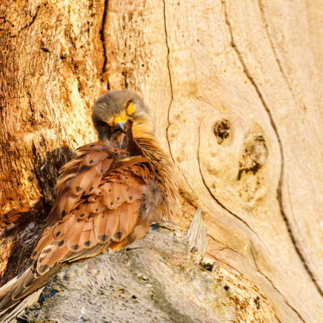 """Common Kestrel (Falco tinnunculus) preening it's feathers, taken in London"" stock image"