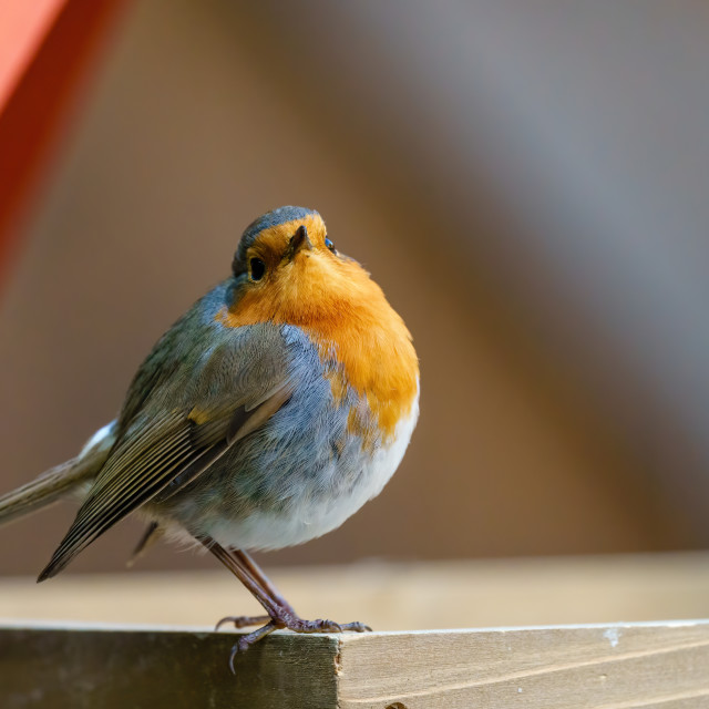 """European Robin (Erithacus rubecula) loooking over it's shoulder to camera,..."" stock image"