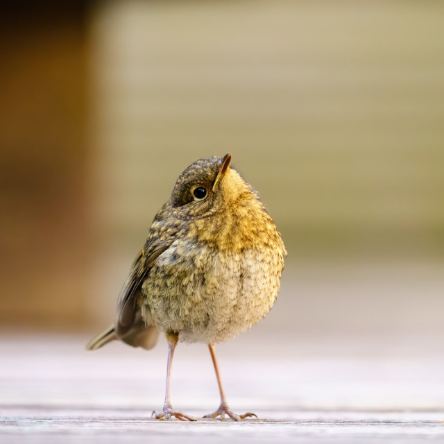 """European Robin (Erithacus rubecula) with it's hea cocked to the side..."" stock image"