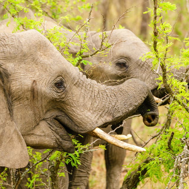 """African Elephant (Loxodonta africana) seemingly smiling while feeding from a..."" stock image"
