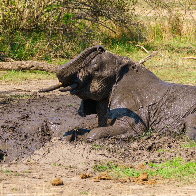 """African Elephant (Loxodonta africana) having a mud bath, taken in Kruger..."" stock image"