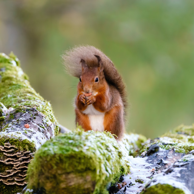 """red squirrel (Sciurus vulgaris) with tail blown against its back by gusty..."" stock image"
