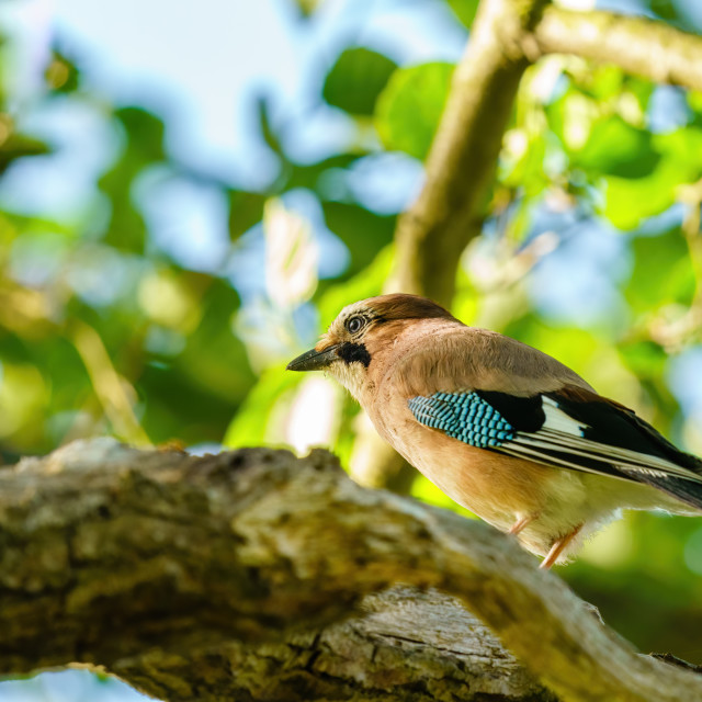 """Eurasian Jay (Garrulus glandarius) in soft light, taken in London"" stock image"