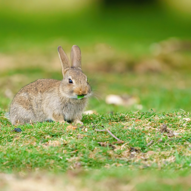 """""""Young European Rabbit (Oryctolagus cuniculus) nibbling on a piece of leaf,..."""" stock image"""