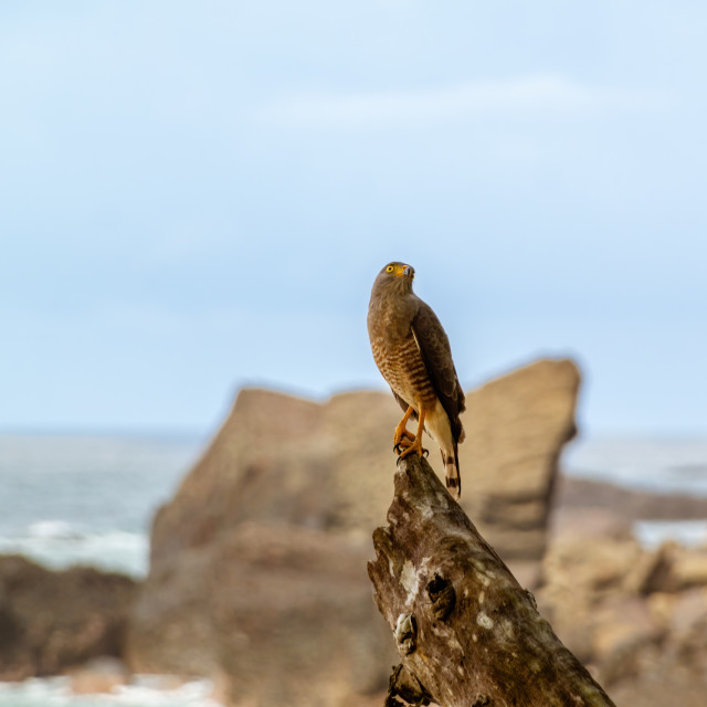"""Roadside Hawk (Buteo magnirostris)"" stock image"