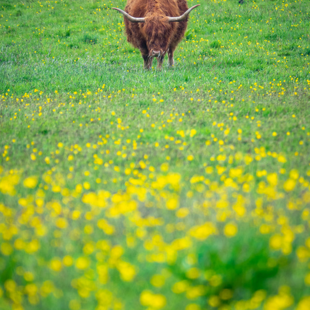 """""""Grazing Highland Cow"""" stock image"""