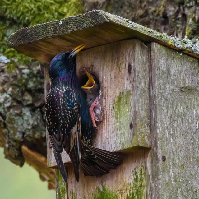 """Common starling bird, Sturnus vulgaris feeds baby birds on wooden bird house."" stock image"