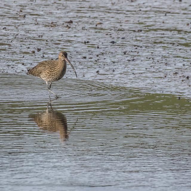 """""""Curlew - Aune estuary"""" stock image"""