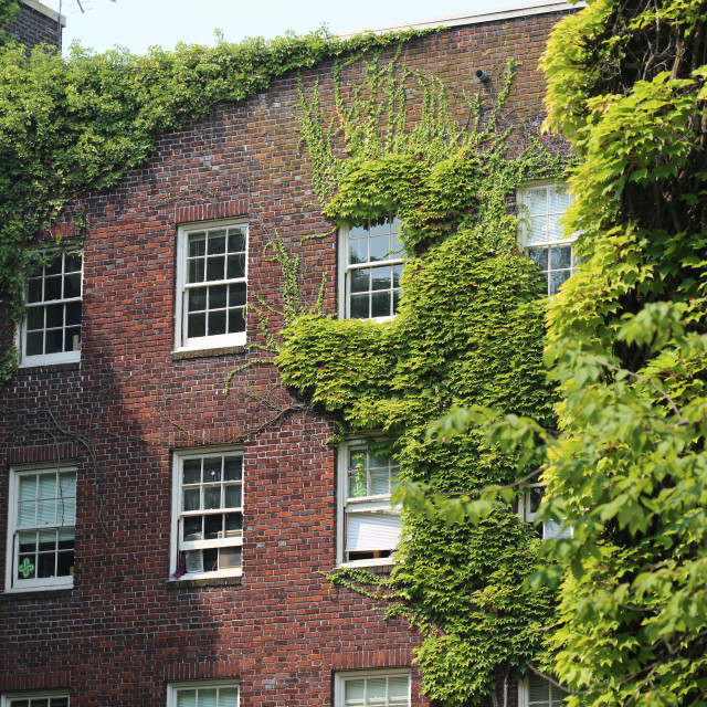 """Ivy League or Ivy Covered?"" stock image"