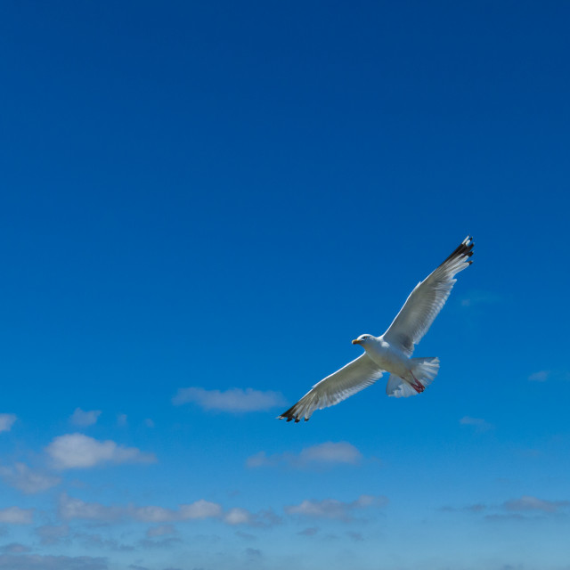 """Seagull in full flight against a blue sky"" stock image"