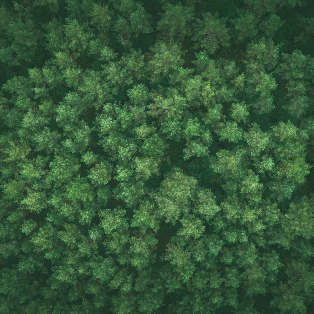 """""""Pine forest top down image"""" stock image"""