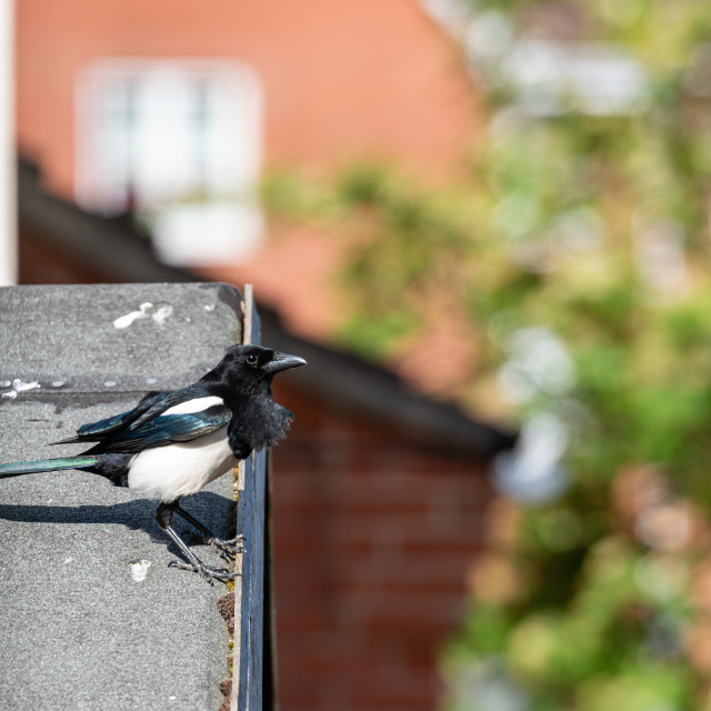 """""""Magpie on shed roof."""" stock image"""