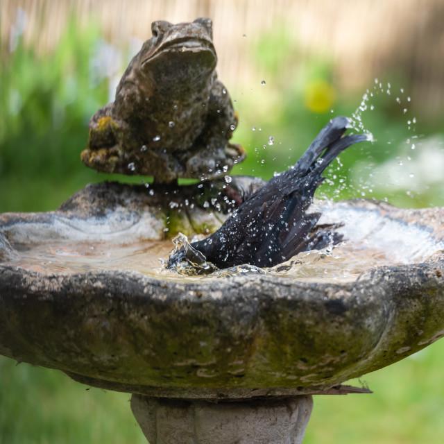 """Male blackbird washing in garden birdbath iv"" stock image"