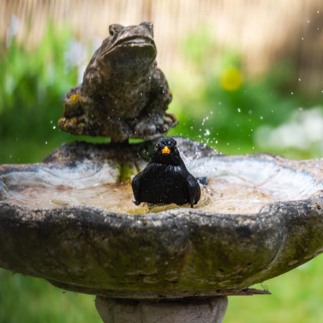 """""""Male blackbird washing in garden birdbath v"""" stock image"""