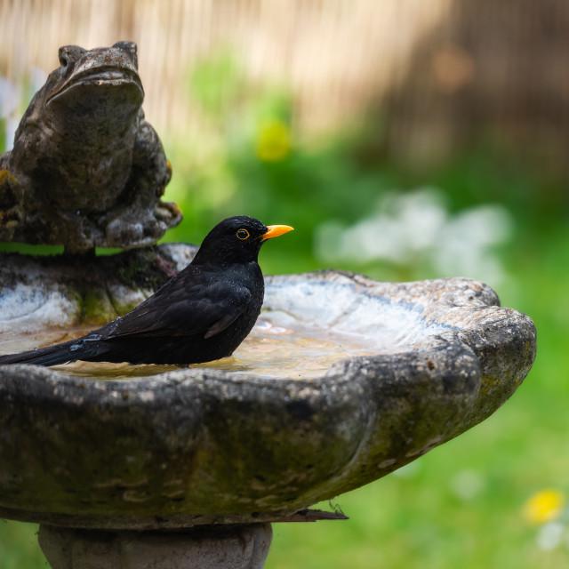 """Male blackbird washing in garden birdbath i"" stock image"