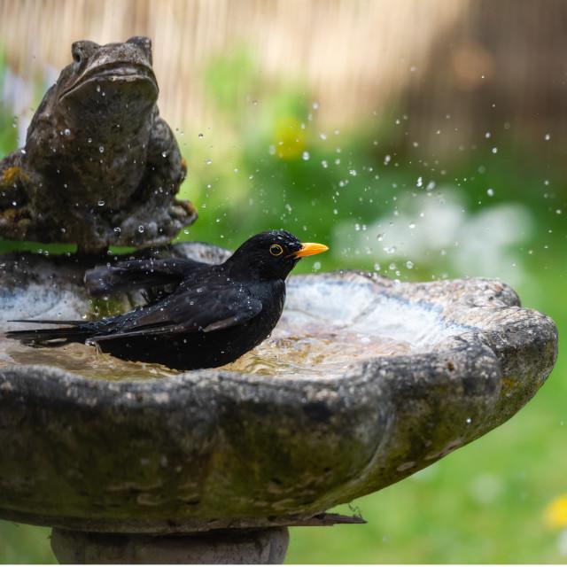 """Male blackbird washing in garden birdbath iii"" stock image"