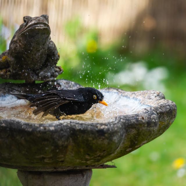 """Male blackbird washing in garden birdbath ii"" stock image"