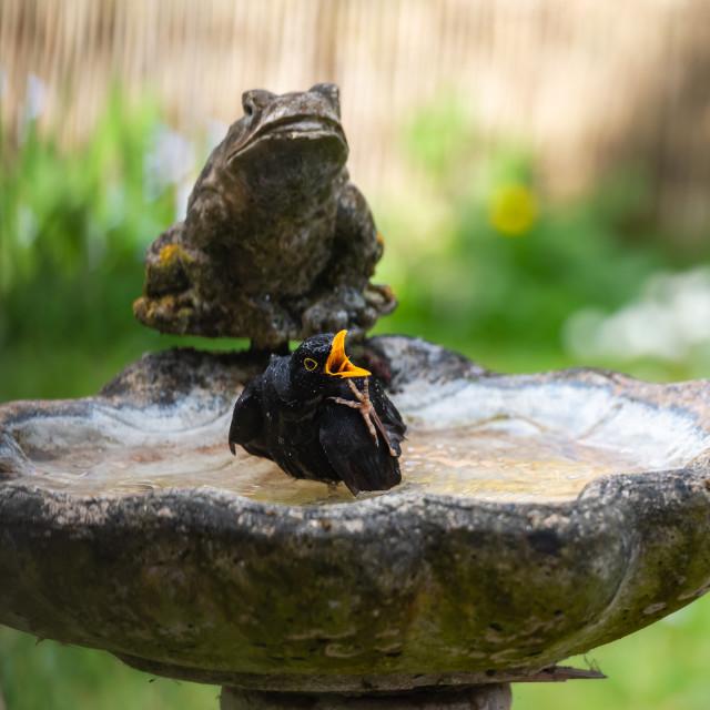 """Male blackbird washing in garden birdbath viii"" stock image"