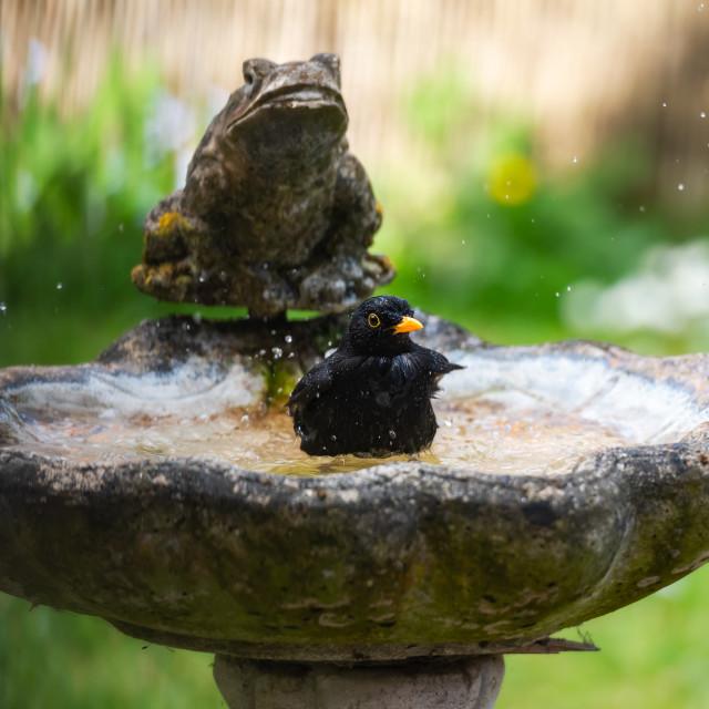 """Male blackbird washing in garden birdbath vi"" stock image"