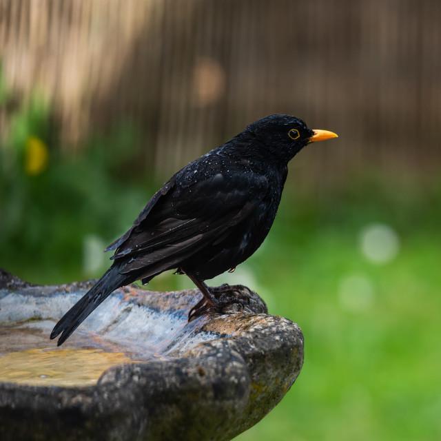"""""""Male blackbird on edge of garden birdbath"""" stock image"""