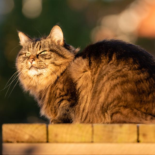 """Stripy tabby cat on garden podium in late sunshine iii"" stock image"