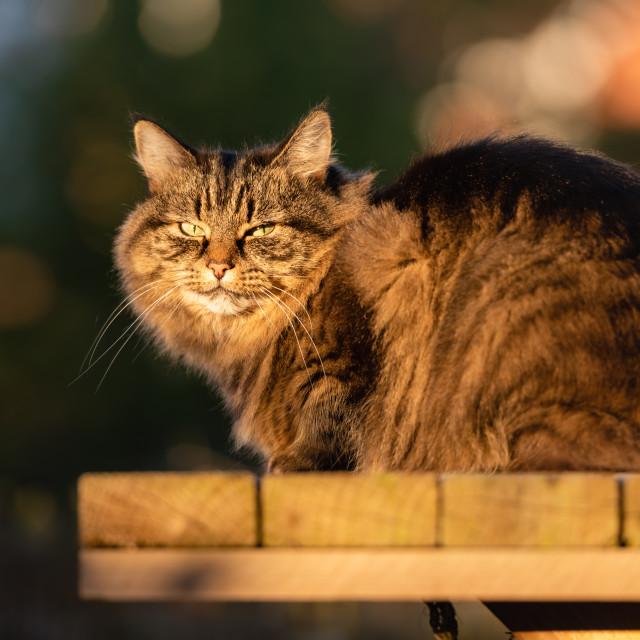 """Stripy tabby cat on garden podium in late sunshine iv, eye conta"" stock image"