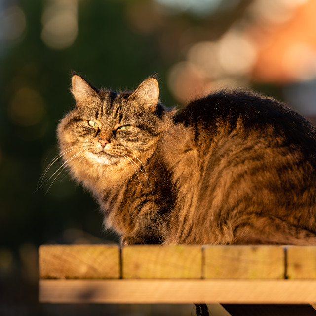 """Stripy tabby cat on garden podium in late sunshine ii, eye conta"" stock image"