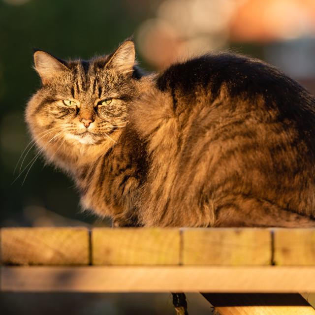 """Stripy tabby cat on garden podium in late sunshine vi, eye conta"" stock image"
