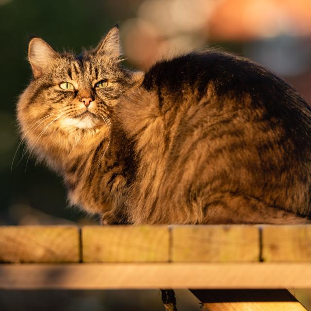"""""""Stripy tabby cat on garden podium in late sunshine v"""" stock image"""