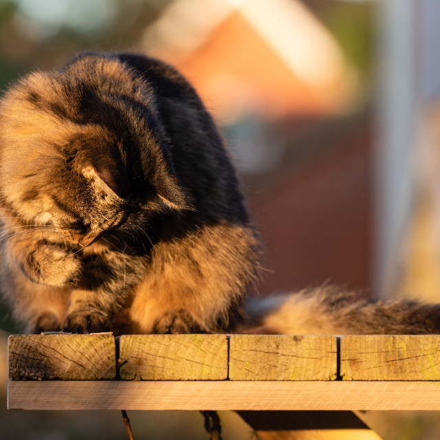 """""""Stripy tabby cat on garden podium in late sunshine vii, playing"""" stock image"""