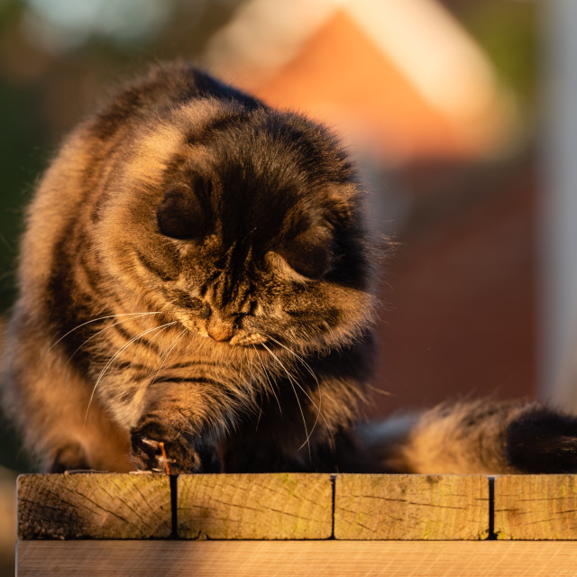 """Stripy tabby cat on garden podium in late sunshine viii, playing"" stock image"