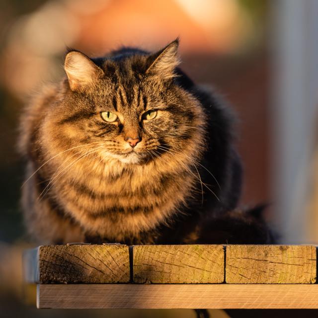 """Stripy tabby cat on garden podium in late sunshine ix"" stock image"