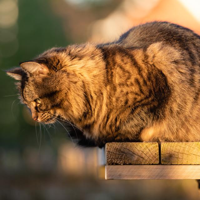 """Stripy tabby cat on garden podium in late sunshine xi"" stock image"