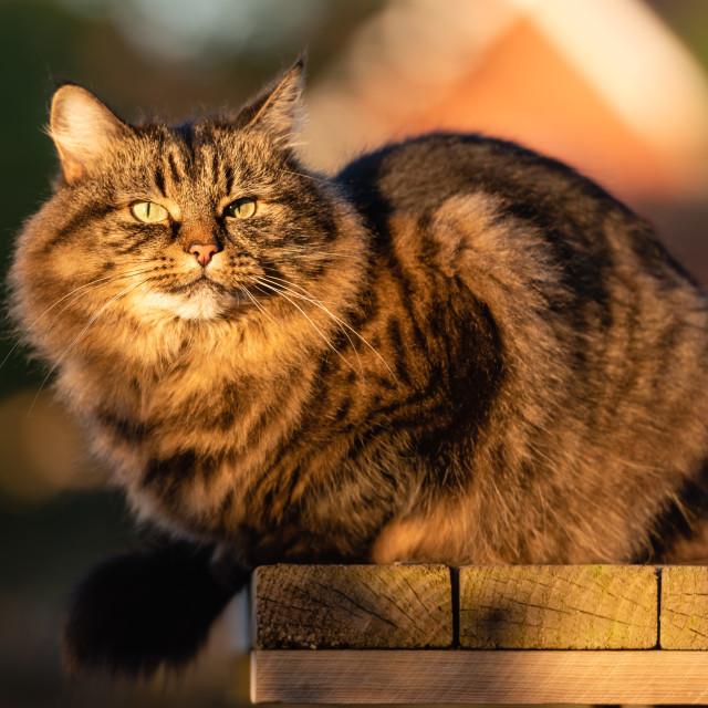 """Stripy tabby cat on garden podium in late sunshine xii"" stock image"