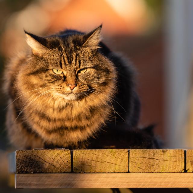 """Stripy tabby cat on garden podium in late sunshine x"" stock image"
