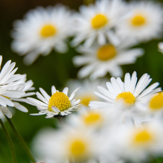 """Lawn daisies soft bg"" stock image"