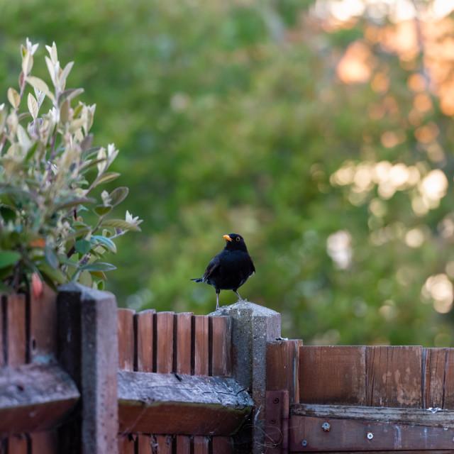 """Male blackbird on garden fence post"" stock image"