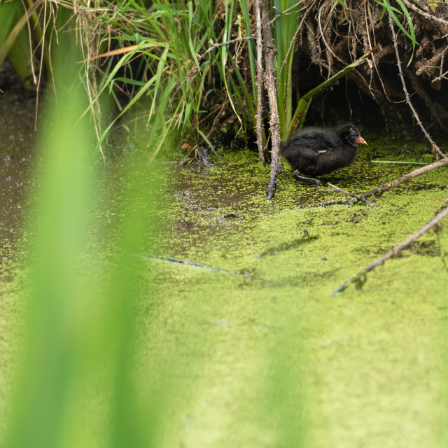 """""""Moorhen chick in weedy pond i"""" stock image"""