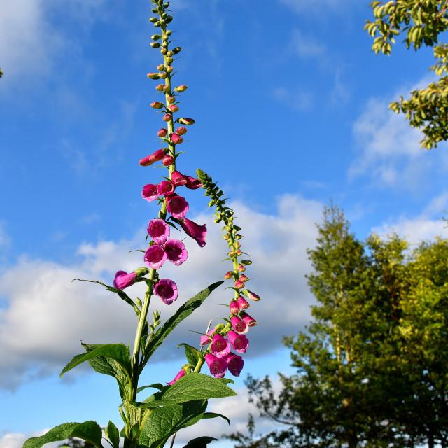 """Foxgloves in our garden."" stock image"