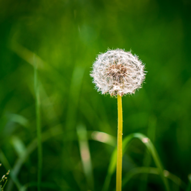 """Sunlit round common dandelion"" stock image"