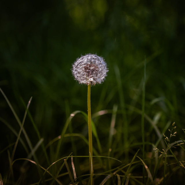 """Bright round common dandelion"" stock image"