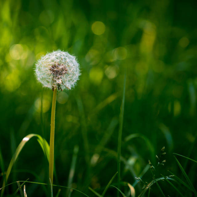 """Bright sunlit round common dandelion"" stock image"