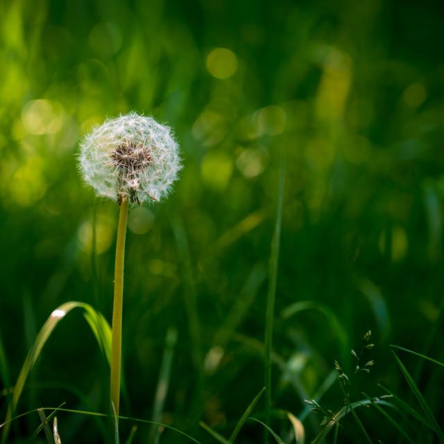 """Bright sunlit round common dandelion"" stock image"