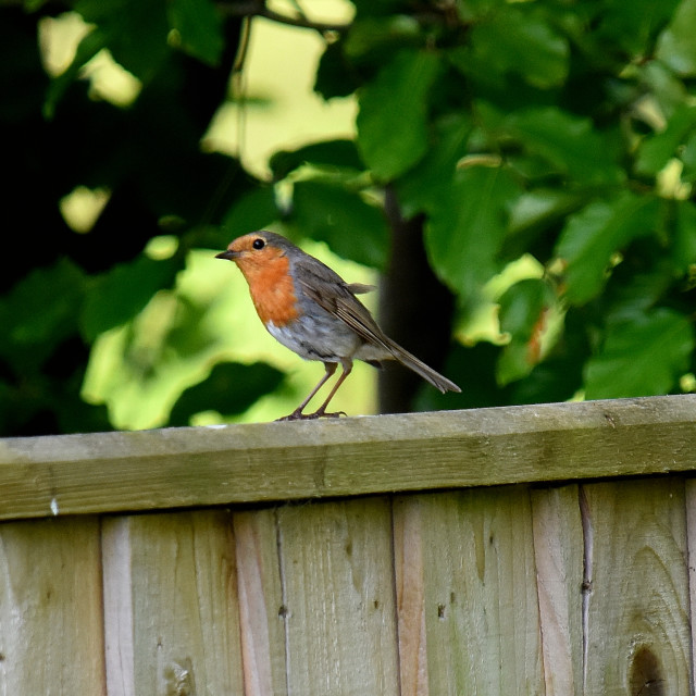 """""""Robin in our garden."""" stock image"""