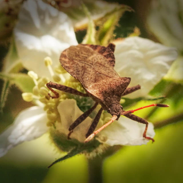 """Dock Bug"" stock image"