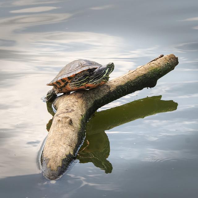 """Red Eared Slider"" stock image"