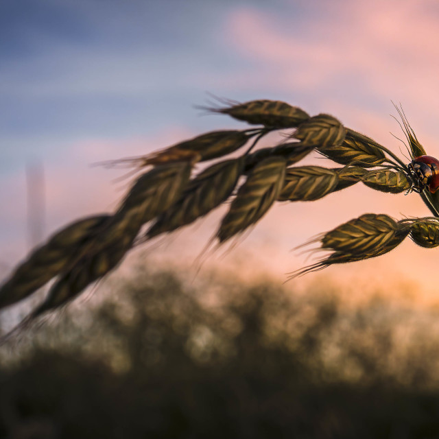 """Sunset on Barley Grass and Ladybird, Cambridge UK."" stock image"