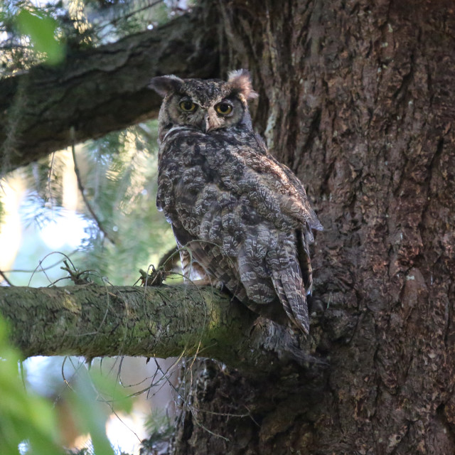 """Great Horned Owl In Vancouver"" stock image"