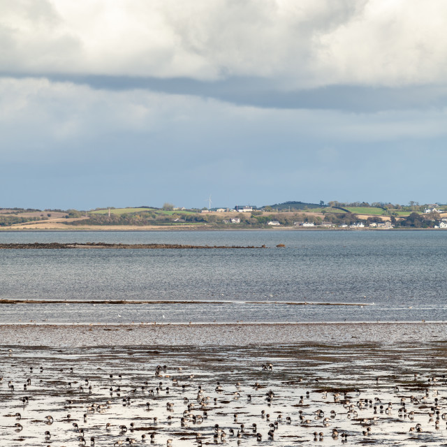 """""""Brent Geese on Strangford Lough"""" stock image"""